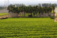 chá da plantação Imagens de Stock Royalty Free
