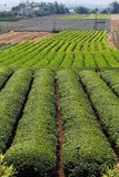chá da plantação Fotos de Stock