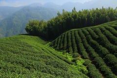 chá da plantação Imagens de Stock