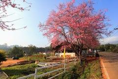 Chá de Sakura em Thailandg foto de stock