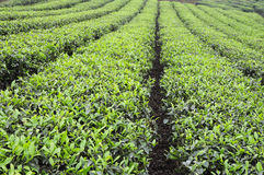 Chá de Sichuan Yibin Fotos de Stock Royalty Free