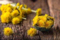 Chá do dente-de-leão Flores do dente-de-leão e copos de chá amarelos Fotografia de Stock