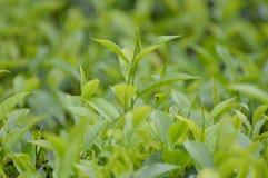Chá frondoso Fotos de Stock Royalty Free