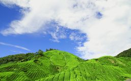Chá Plantati das montanhas de Cameron Imagens de Stock