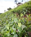 Chá que cresce em inclinações em montanhas do Kenyan Fotos de Stock Royalty Free