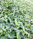 Chá que cresce na exploração agrícola do chá Fotos de Stock Royalty Free
