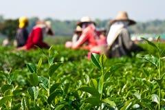 Chá que cultiva no norte de Tailândia fotos de stock