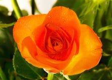 Chá Rosa Imagens de Stock Royalty Free