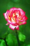 Chá Rosa Fotografia de Stock Royalty Free