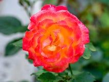 Chá Rosa híbrido 'Bella'roma' fotos de stock royalty free
