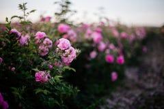 Chá Rose Field imagens de stock
