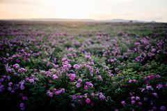 Chá Rose Field fotografia de stock royalty free