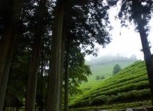 Chá verde Imagem de Stock Royalty Free