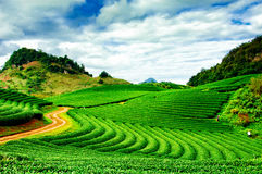 Chá verde fresco da beleza Foto de Stock Royalty Free