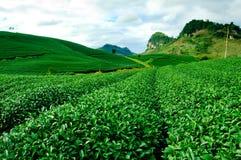 Chá verde fresco da beleza Imagem de Stock Royalty Free