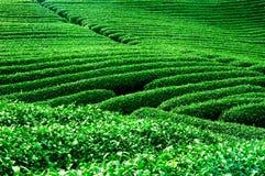 Chá verde fresco da beleza Fotografia de Stock