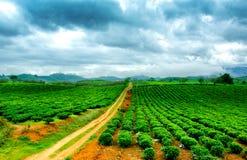 Chá verde fresco da beleza no hightland de Moc Chau Imagens de Stock Royalty Free