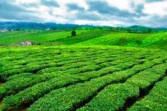 Chá verde fresco da beleza no hightland de Moc Chau Fotografia de Stock Royalty Free