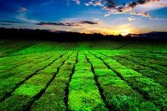 Chá verde fresco da beleza no hightland de Moc Chau Foto de Stock