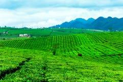 Chá verde fresco da beleza no hightland de Moc Chau Imagens de Stock