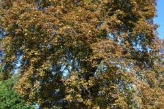 Châtaigne d'arbre en automne Photos stock