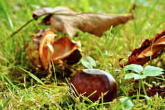 Châtaigne en automne Image libre de droits