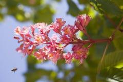 Châtaigne fleurissante Image stock