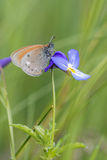 Châtaigne Heath Butterfly Images stock