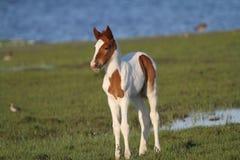 Châtaigne Pinto Foal de Chincoteague photographie stock