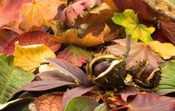 châtaignes d'automne Photo stock