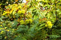 Châtaignes douces dans leurs cosses mûres mais épineuses au coucher du soleil en bois antérieur, Crowhurst, le Sussex est, Anglet photo stock