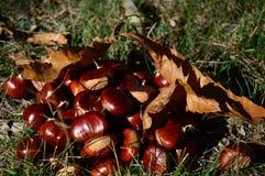 Châtaignes en automne de au sud des Frances Image stock