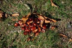 Châtaignes en automne de au sud des Frances Photo libre de droits