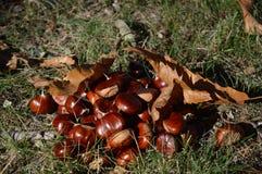 Châtaignes en automne de au sud des Frances Photo stock