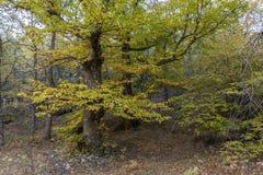 Châtaignes en automne de la forêt de La Herreria, San Lorenzo De Photographie stock