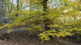 Châtaignes en automne de la forêt de La Herreria, San Lorenzo De Photo libre de droits