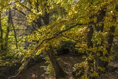 Châtaignes en automne de la forêt de La Herreria, San Lorenzo De Photos stock