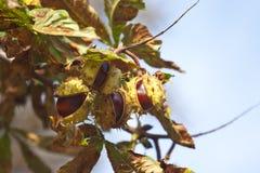 Châtaignes sur l'arbre Photographie stock