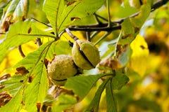 Châtaignes sur une branche d'arbre Image stock