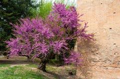 Château médiéval italien : Détail d'usine de floraison au printemps photographie stock