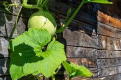 Châtiez un jeune fouet de courge sur un vieux mur en bois images stock