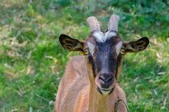 Chèvre à cornes et brune Images libres de droits