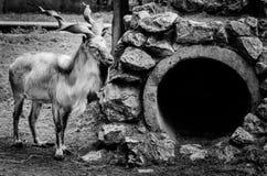 Chèvre à cornes noire et blanche Photo libre de droits