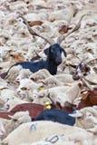 Chèvre à cornes regardant l'appareil-photo Photo libre de droits