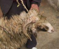 Chèvre à Fez, Maroc Photo libre de droits