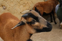 Chèvre à l'extérieur Photographie stock