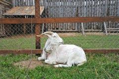 Chèvre à la barrière sur une laisse image libre de droits
