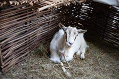 chèvre à la maison blanche images libres de droits