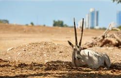 Chèvre à la nuance des arbres photo libre de droits