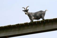 Chèvre à une ferme Photos libres de droits
